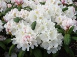 Rhododendron 'Schwanensee', 25-30 cm, Rhododendron yakushimanum 'Schwanensee', Containerware