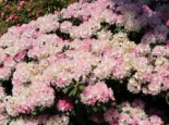 Rhododendron 'Silberwolke', 20-25 cm, Rhododendron yakushimanum 'Silberwolke', Containerware