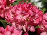 Rhododendron 'Sneezy', 30-40 cm, Rhododendron yakushimanum 'Sneezy', Containerware