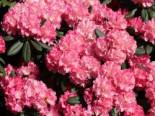 Rhododendron 'Sonatine', 25-30 cm, Rhododendron yakushimanum 'Sonatine', Containerware