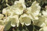 Rhododendron 'Stadt Westerstede', 60-70 cm, Rhododendron Hybride 'Stadt Westerstede', Ballenware