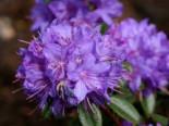 Rhododendron 'Statuette', 30-40 cm, Rhododendron augustinii 'Statuette', Containerware