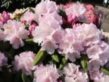 Rhododendron 'Trinity', 20-25 cm, Rhododendron yakushimanum 'Trinity', Containerware