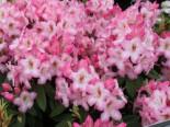 Rhododendron 'Ulrike Jost', 30-40 cm, Rhododendron Hybride 'Ulrike Jost', Containerware