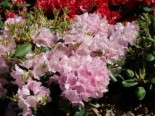 Rhododendron 'Vater Böhlje', 25-30 cm, Rhododendron williamsianum 'Vater Böhlje', Containerware