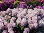 Rhododendron 'Virginia Delp', 30-40 cm, Rhododendron Hybride 'Virginia Delp', Containerware