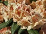 Rhododendron 'Viscy', 40-50 cm, Rhododendron Hybride 'Viscy', Containerware