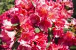 Rhododendron 'Vorwerk Abendsonne', 30-40 cm, Rhododendron Hybride 'Vorwerk Abendsonne', Containerware