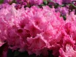 Rhododendron 'Walküre' ®, 40-50 cm, Rhododendron Hybride 'Walküre' ®, Containerware