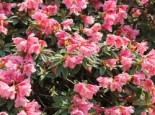 Rhododendron 'Wee Bee', 20-25 cm, Rhododendron keiskei 'Wee Bee', Containerware