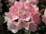 Rhododendron 'Yaku Sunrise', 30-40 cm, Rhododendron yakushimanum 'Yaku Sunrise', Containerware