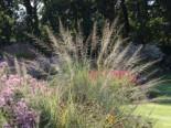 Riesen Fallsamengras, Sporobolus wrightii, Topfware
