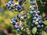 Riesen-Heidelbeere 'Bluejay', 40-60 cm, Vaccinium corymbosum 'Bluejay', Containerware