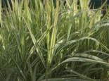 Rohr-Glanzgras 'Feesey', Phalaris arundinacea 'Feesey', Topfware