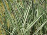 Rohr-Glanzgras 'Picta', Phalaris arundinacea 'Picta', Topfware