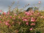Rosa Puderquastenstrauch 'Dixie Pink', Stamm 50 cm, 60-80 cm, Calliandra surinamensis 'Dixie Pink', Stämmchen