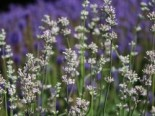 Rosablühender Lavendel 'Loddon Pink', Lavandula angustifolia 'Loddon Pink', Topfware