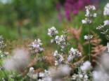 Rosablühender Lavendel 'Rosea', Lavandula angustifolia 'Rosea', Topfware