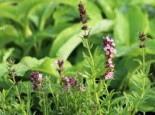 Rosablühender Ysop 'Roseus', Hyssopus officinalis 'Roseus', Topfware