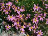 Rosablühendes Schönauge 'American Dream', Coreopsis rosea 'American Dream', Topfware