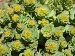 Rosenwurz, Rhodiola rosea, Topfware