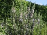 Rosmarin 'Prostratus', Stamm 40-50 cm, 60-80 cm, Salvia rosmarinus 'Prostratus', Stämmchen