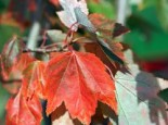 Rotahorn 'October Glory', 150-175 cm, Acer rubrum 'October Glory', Containerware