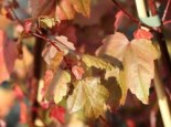Acer rubrum 'Summer Red' ®