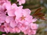 Rotblättriger Zierpfirsich 'Spring Glory', 125-150 cm, Prunus persica 'Spring Glory', Containerware