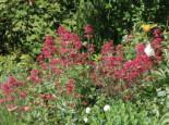 Rotblühende Spornblume 'Coccineus', Centranthus ruber 'Coccineus', Topfware