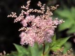 Rotblühendes Mädesüß 'Elegans', Filipendula purpurea 'Elegans', Topfware