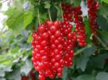 Rote Johannisbeere 'Detvan', Stamm 80-90 cm, 100-130 cm, Ribes rubrum 'Detvan', Stämmchen