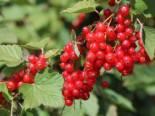 Rote Johannisbeere 'Rondom', Stamm 40-50 cm, 80-90 cm, Ribes rubrum 'Rondom', Stämmchen