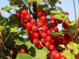Rote Johannisbeere 'Rotet', Stamm 50 cm, 60-80 cm, Ribes rubrum 'Rotet', Stämmchen