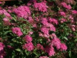 Rote Sommerspiere 'Anthony Waterer', 30-40 cm, Spiraea bumalda 'Anthony Waterer', Wurzelware