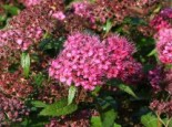 Rote Sommerspiere 'Anthony Waterer Sapho', 20-30 cm, Spiraea bumalda 'Anthony Waterer Sapho', Containerware