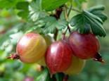 Rote Stachelbeere 'Achilles', 30-40 cm, Ribes uva-crispa 'Achilles', Containerware