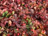Rote Teppichbeere, 10-20 cm, Gaultheria procumbens, Topfware