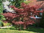 Roter Fächerahorn 'Atropurpureum', 20-30 cm, Acer palmatum 'Atropurpureum', Topfware