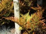 Rotschleierfarn, Dryopteris erythrosora, Topfware