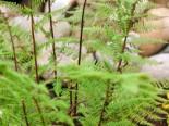 Rotstieliger Frauenfarn 'Rotstiel', Athyrium filix-femina 'Rotstiel', Topfware