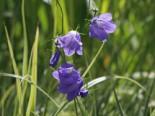 Rundblättrige Glockenblume, Campanula rotundifolia, Topfware