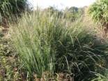 Ruten-Hirse 'Northwind', Panicum virgatum 'Northwind', Topfware