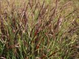 Ruten-Hirse 'Rotstrahlbusch', Panicum virgatum 'Rotstrahlbusch', Containerware