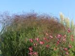Ruten-Hirse 'Squaw', Panicum virgatum 'Squaw', Topfware