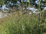 Ruten-Hirse 'Strictum', Panicum virgatum 'Strictum', Topfware