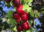 Säulen-Mirabelle 'Ruby', 100-150 cm, Prunus domestica subsp. syriaca 'Ruby', Containerware