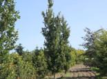 Grüne Säulenbuche Dawyck