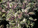 Salvia officinalis 'Tricolor'