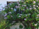 Samthortensie, 30-40 cm, Hydrangea aspera ssp. sargentiana, Containerware